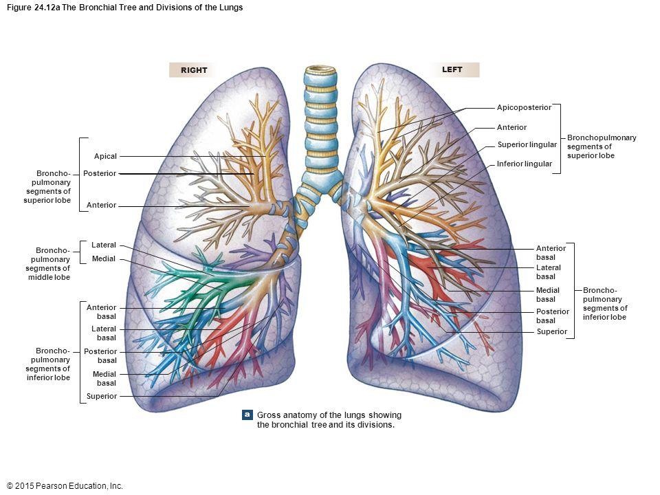Lobar Pulmonary Segments