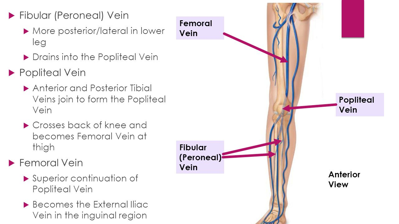 Www Pictures Of The Leg Arteries