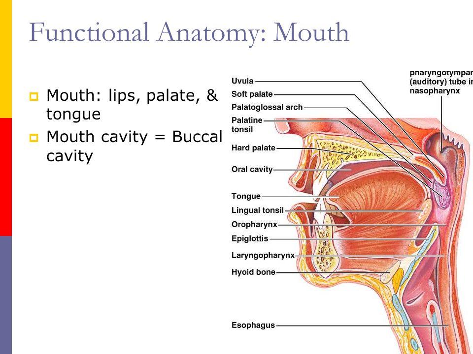 Fein Anatomie Der Unterseite Der Zunge Ideen - Anatomie Von ...