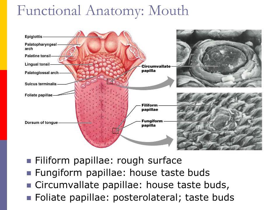 Taste Buds And Papillae