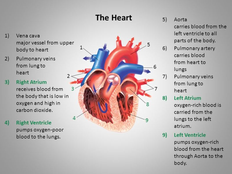 parts of the heart » Full HD Pictures [4K Ultra] | Full Wallpapers