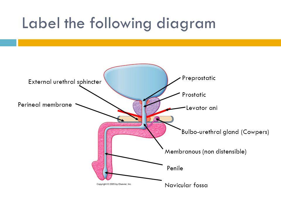 Anatomy Prostatic Fossa