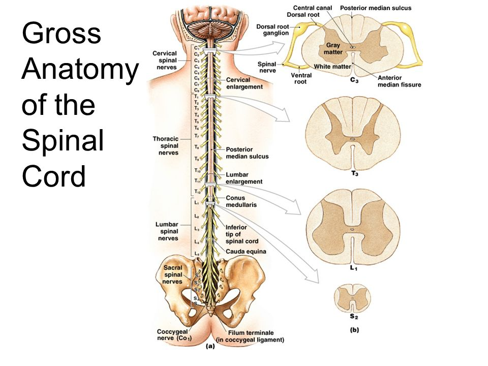 Lumbar 4 And 5 Vertebrae
