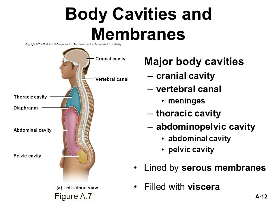 Cavity Serous Thoracic Membrane