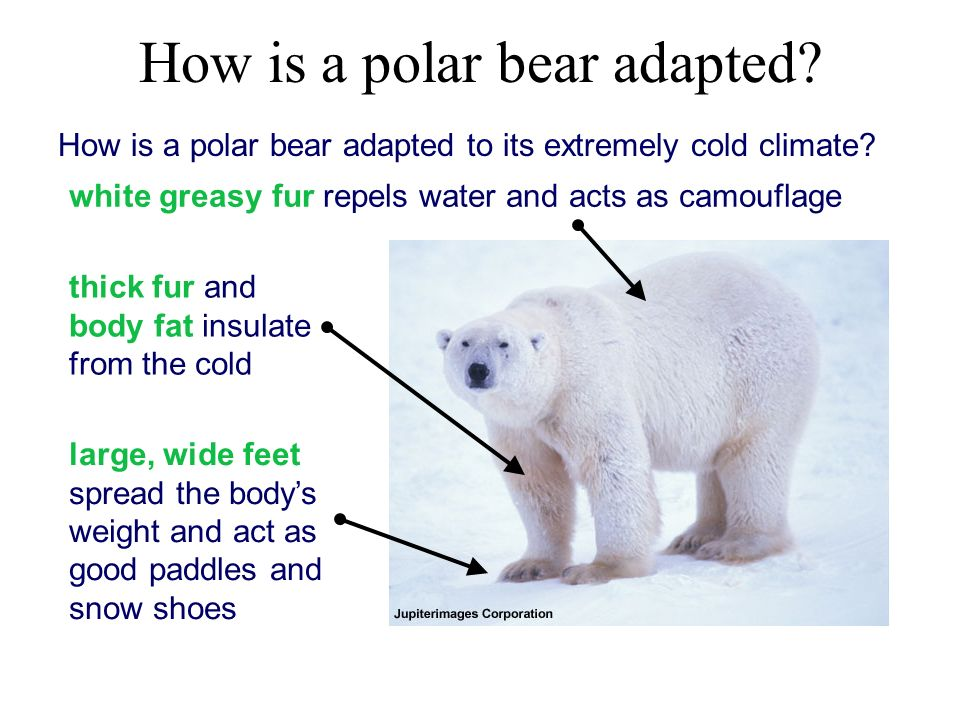 How+is+a+polar+bear+adapted body diagram of polar bears