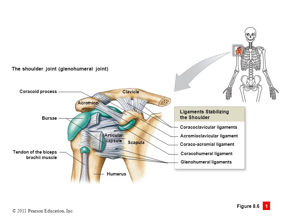 Shoulder Ligaments Fibrous Capsule