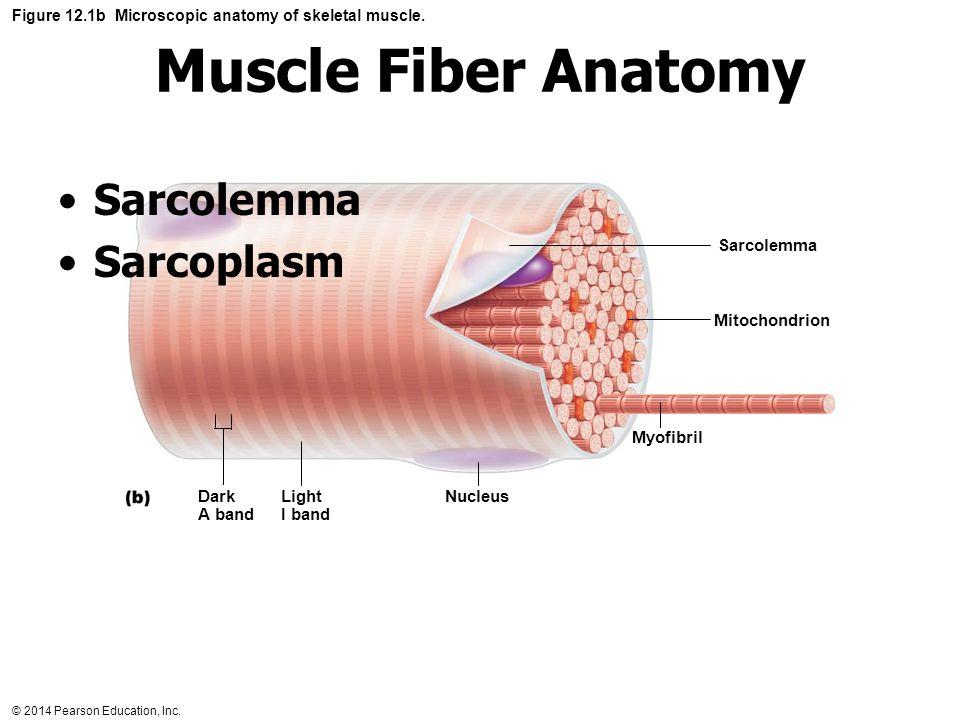 Anatomy Of A Muscle Fiber Figure 7 3