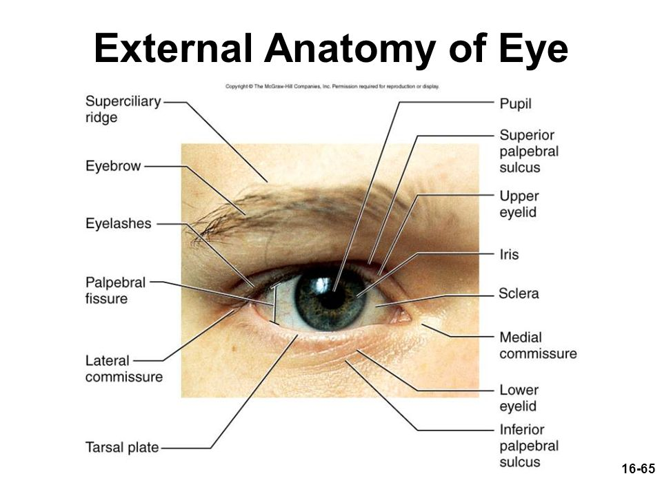 Structures Of The Outer Eye