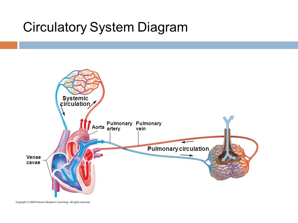 Diagram Of Lungs And Capillaries Lung Bronchioles Diagram ...