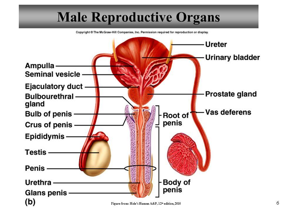 Female Cat Reproductive Anatomy