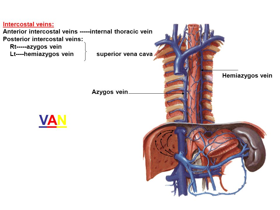 Lt Of Internal Mammary Artery Anatomy
