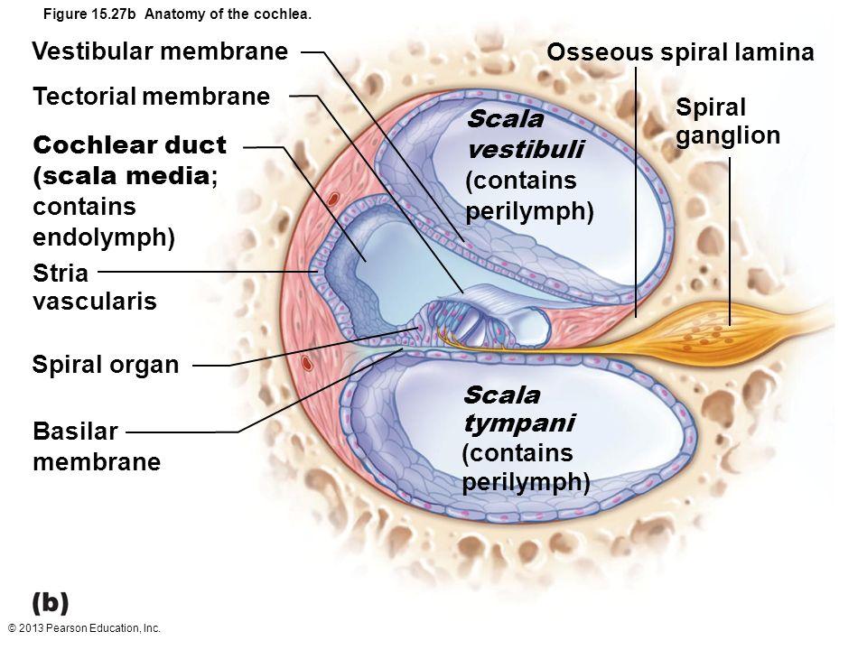 Enchanting Anatomy Of Vestibular System Frieze - Human Anatomy ...