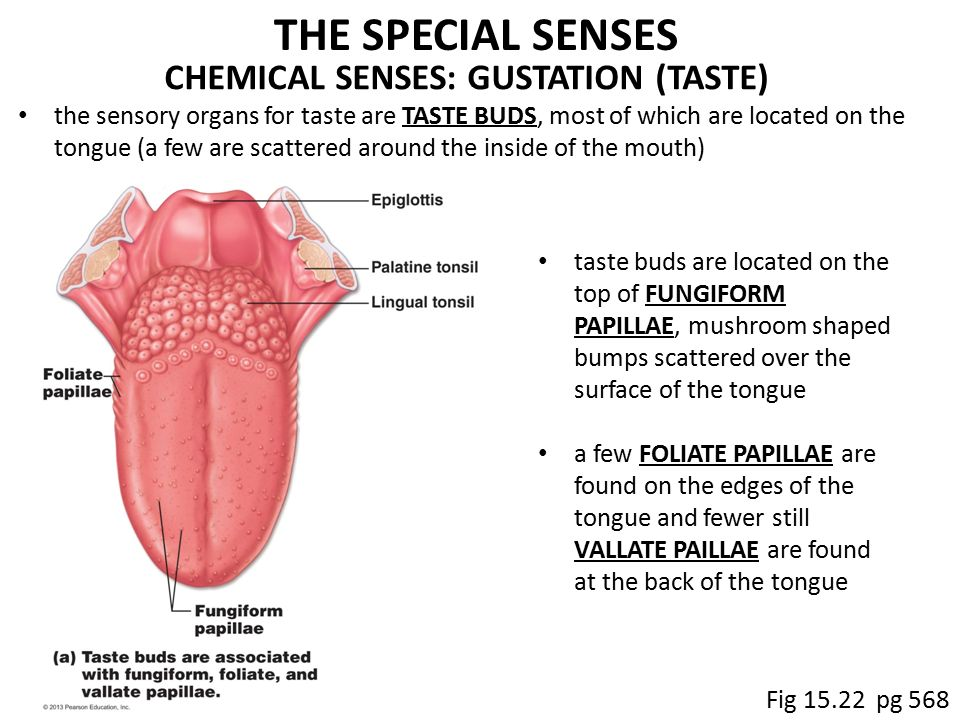 Human Mouth Anatomy Inside