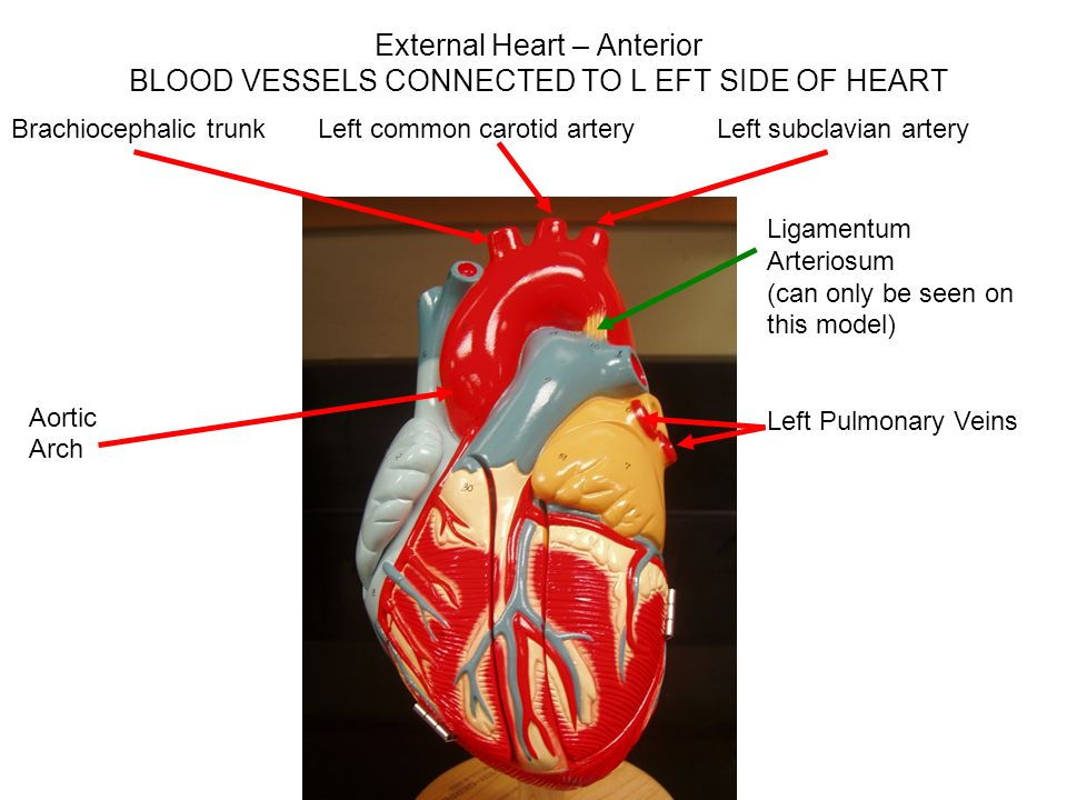 Auricles Heart Anterior View