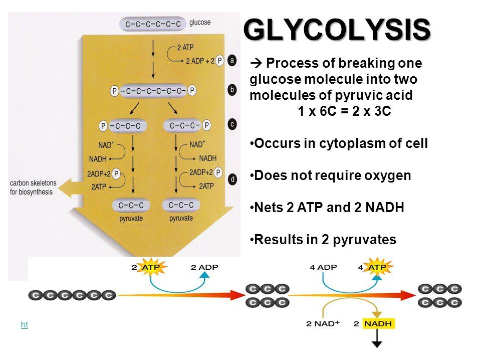 Biology Fermentation Ethanol