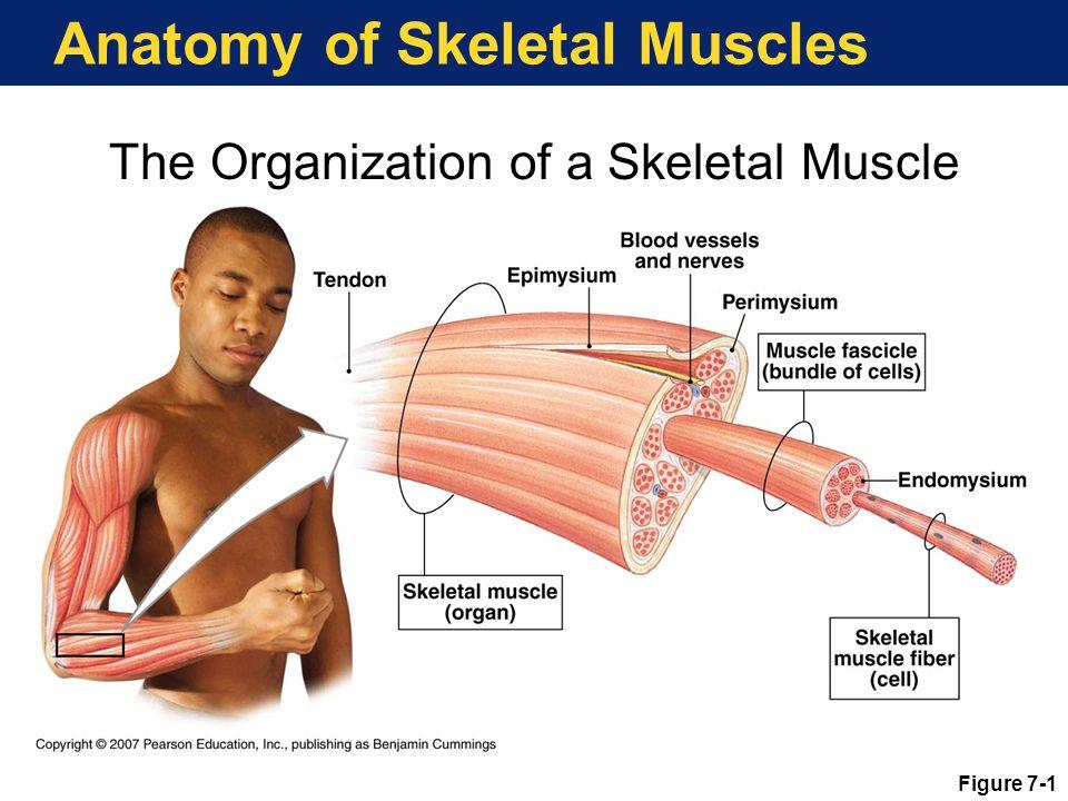 Gross Anatomy Skeletal Muscles