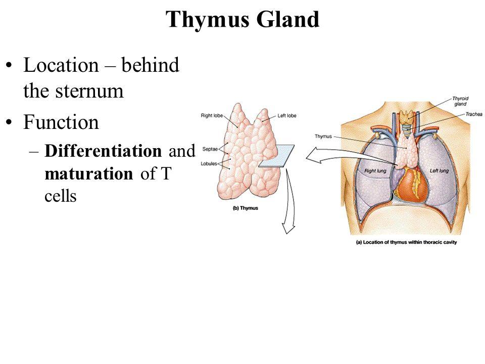 Role Thymus Gland
