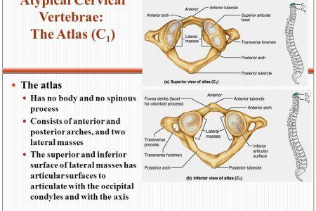 Interior Inferior Articular Facet Atlas Full Hd Maps Locations