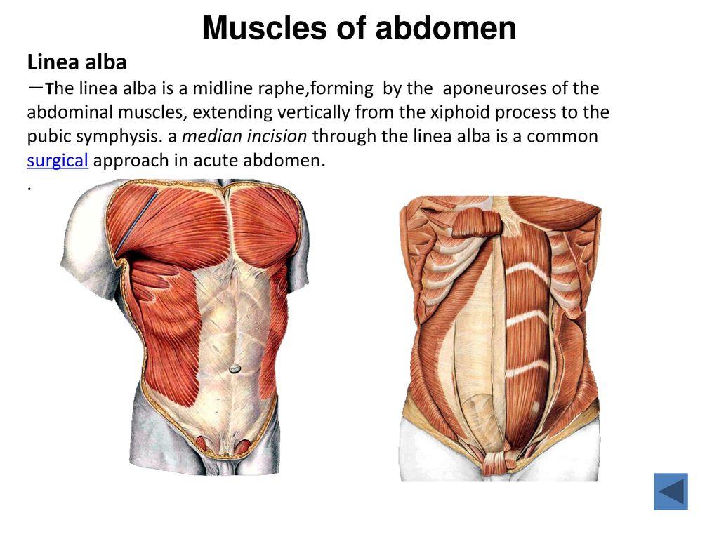Bony Anatomy Pancreas Location