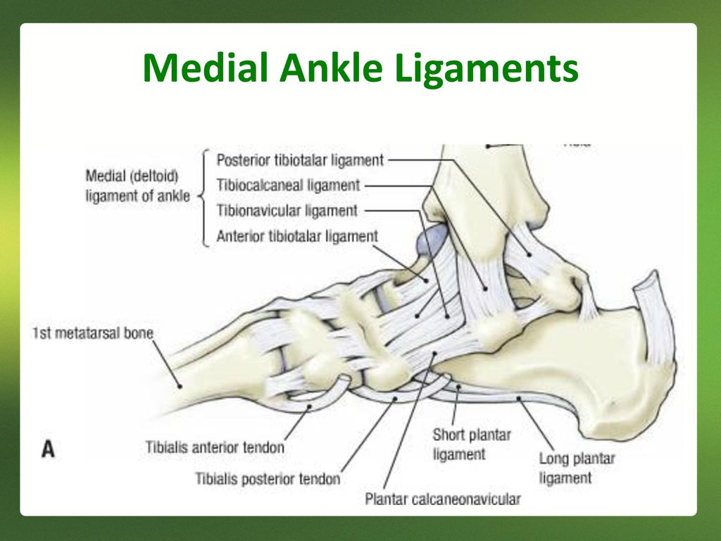 Ankle Ligaments Diagram - Trusted Wiring Diagrams
