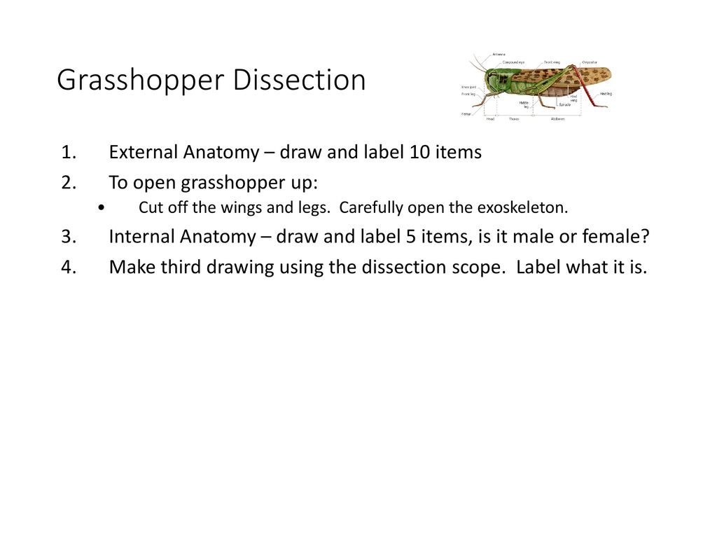 grasshopper internal dissection - HD1024×768