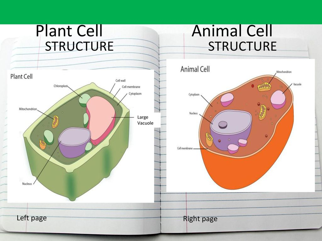 Plant Cell vs  Animal Cell   ppt download Plant Cell Animal Cell STRUCTURE STRUCTURE Left page Right page Large