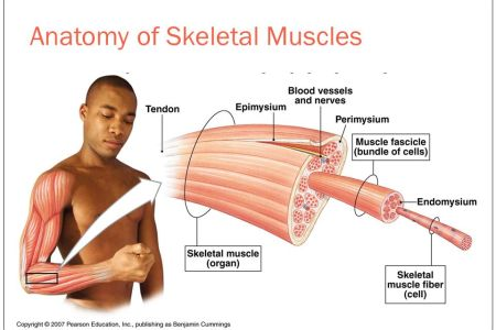 organization of a skeletal muscle » Full HD MAPS Locations - Another ...