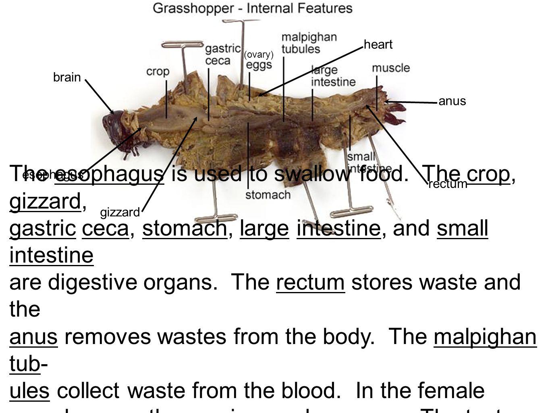 grasshopper internal dissection - HD1365×1024