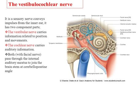 What Is The Purpose Of The Auditory Nerve ✓ The Audi Car