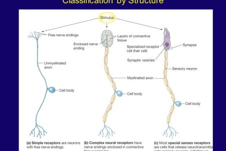 concept map classification of sensory receptors » 4K Pictures | 4K ...