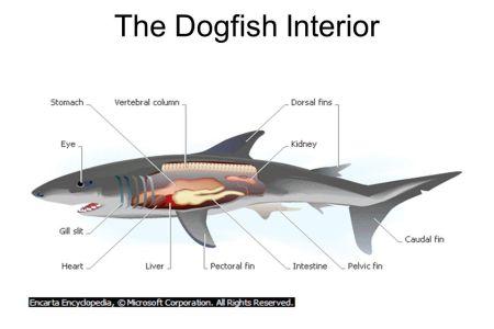 interior internal gills on a shark » [HD Images] Wallpaper For ...