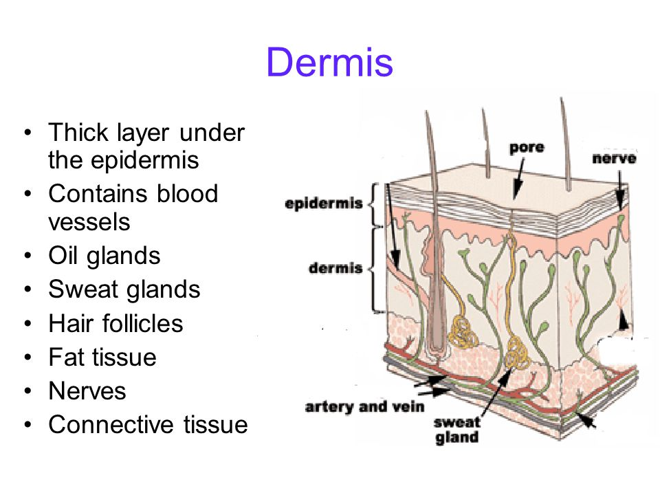 Sweat Glands Integumentary System