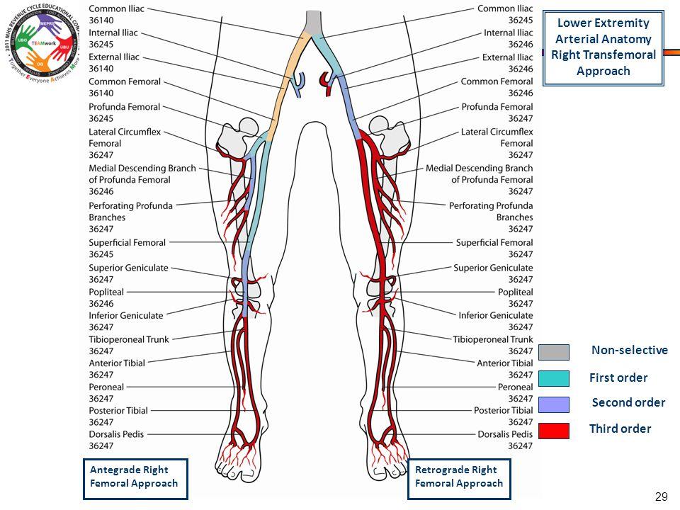 Bilateral Lower Vascular Anatomy Diagram