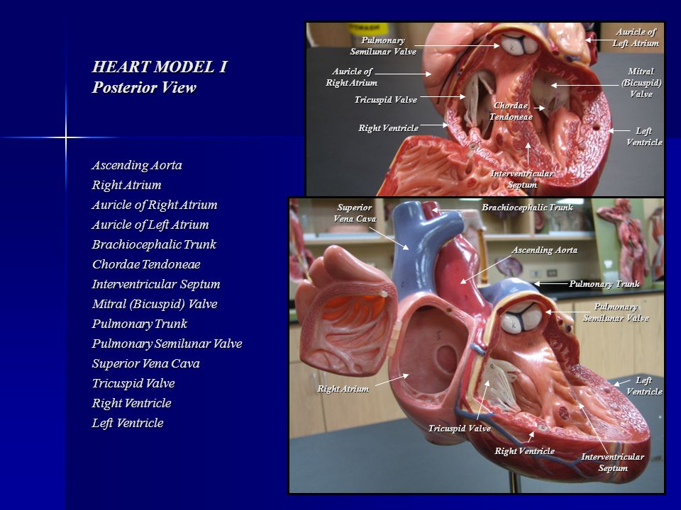 Anterior Auricles View Heart