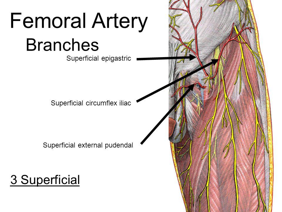 Superficial Femoral Artery Anatomy
