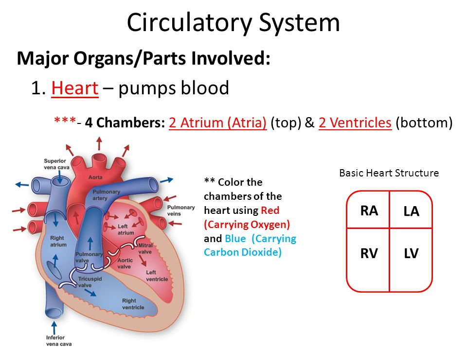 This song teaches how the human circulatory system works including the heart lungs blood arteries veins and capillaries By learning the organs and parts of