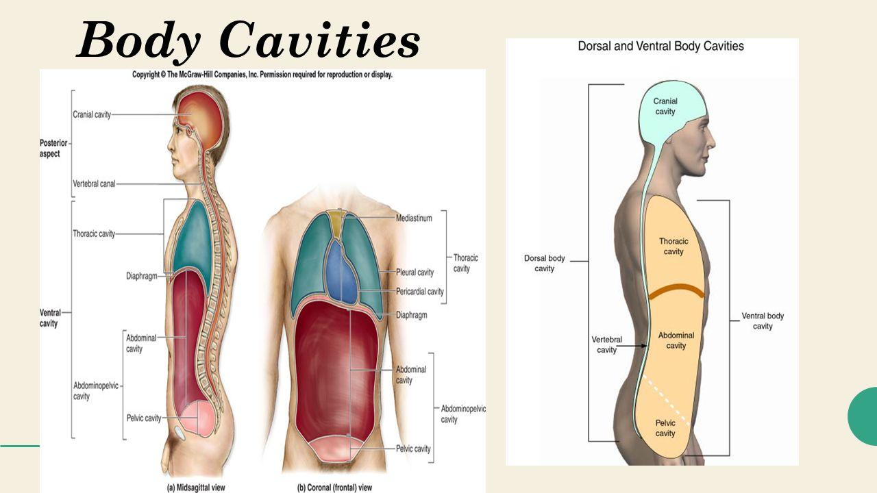 Body Cavities Sagittal View | www.imagenesmy.com