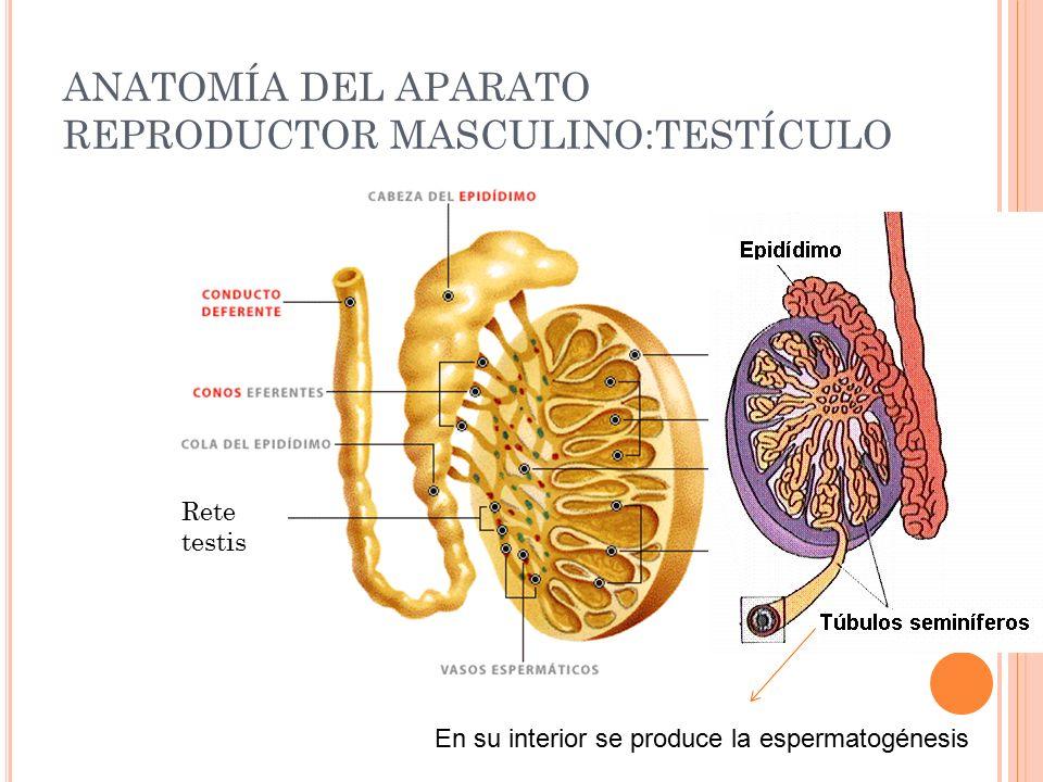 Perfecto Foto Testículo Humano Fotos - Anatomía de Las Imágenesdel ...