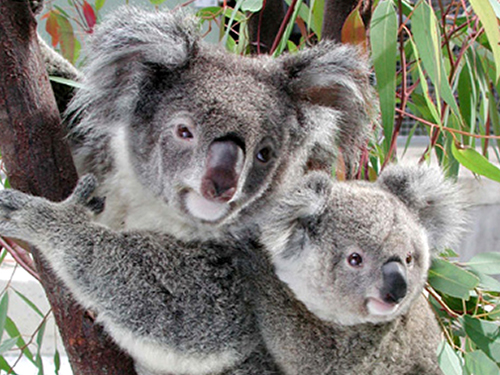 About Us and Our Cute Australian Koala | Smiling Bear®