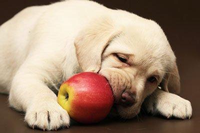 개는 사과를 먹는다
