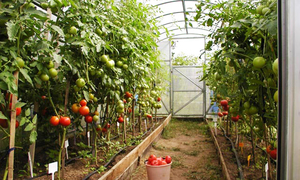 Growing tomatoes in the greenhouse