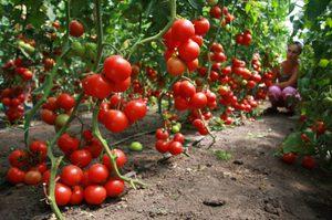 Tomater på grepp