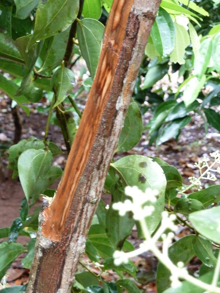benefits of cinnamon   Your Natural Health Online