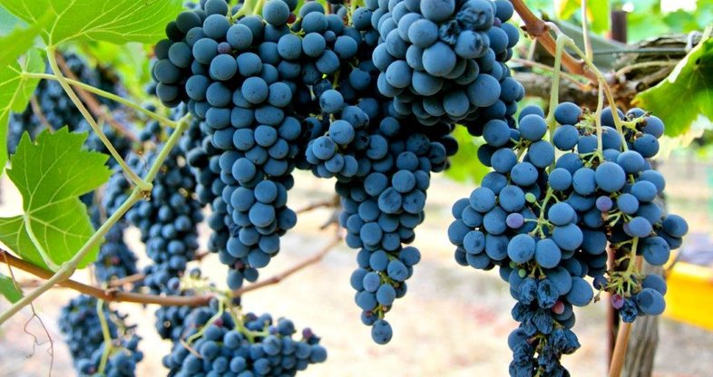 Sangiovese - Grapes - South Africa