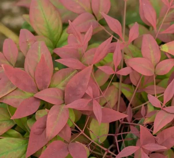 Evergreen Perennials Zone 7