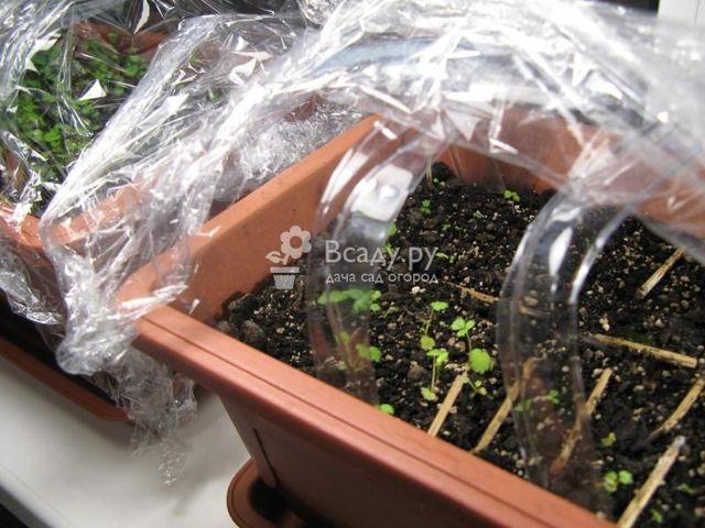 Πώς να αναπτυχθούν ακτινίδια από τους σπόρους στο σπίτι, οδηγίες για την καλλιέργεια οστών + φωτογραφία