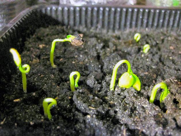 Hogyan növeljék kiwi-t az otthoni magokból, a Bone + Photo