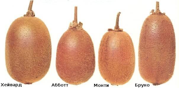 Hoe kiwi te laten groeien van zaden thuis, instructies voor het groeien van bot + foto
