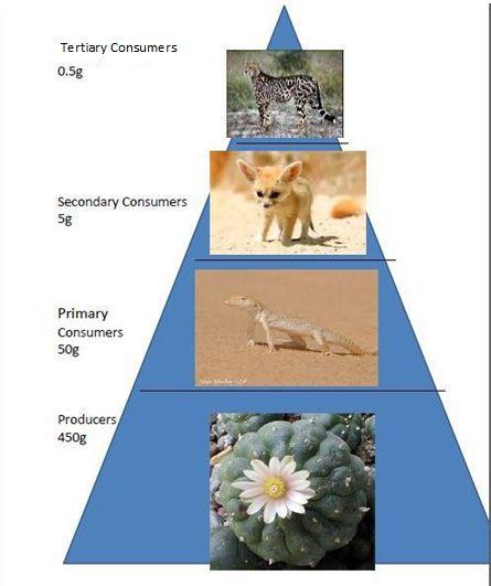 Food Pyramid of Sahara Desert | Saharan Cheetah