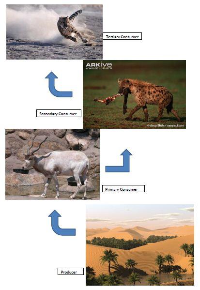 Food Chain of the Sahara Desert | Saharan Cheetah